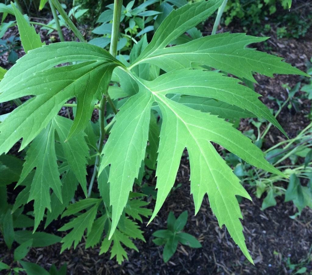 green-headed coneflower leaves