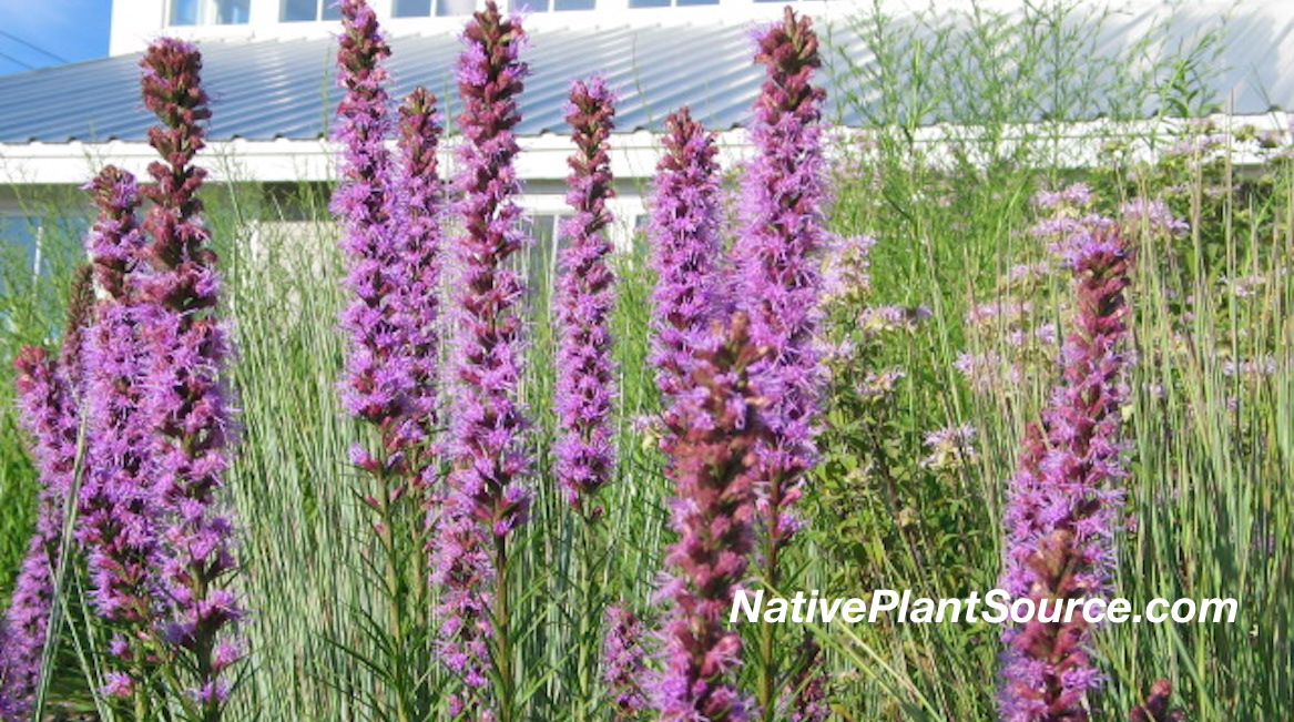 Native Plant Blazing Star (Liatris spicata)